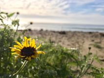 Sonnenblume auf einem Strand in Malibu stockbild