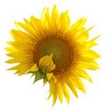 Sonnenblume auf einem Weiß Lizenzfreie Stockfotos