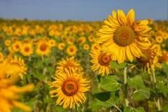 Sonnenblume auf Feldabschluß oben Stockbild