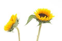 Sonnenblume auf getrennt lizenzfreie stockbilder