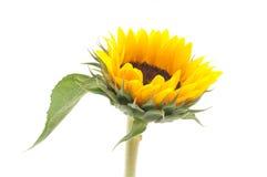 Sonnenblume auf getrennt stockfotos