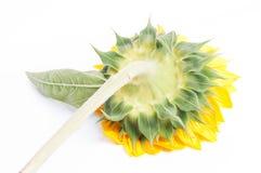 Sonnenblume auf getrennt lizenzfreies stockfoto