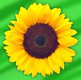 Sonnenblume auf grünem Hintergrund Stockbilder