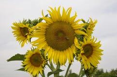 Sonnenblume auf Himmelhintergrund Lizenzfreies Stockfoto