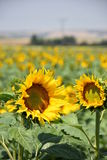 Sonnenblume auf Hintergrund des blauen Himmels Stockfotos
