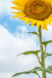 Sonnenblume auf Hintergrund von Wolken und von blauem Himmel Lizenzfreie Stockfotos