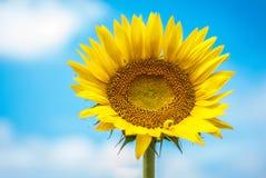 Sonnenblume auf Hintergrund von Wolken und von blauem Himmel Stockfoto