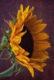 Sonnenblume auf Schmutz-Hintergrund Lizenzfreies Stockfoto