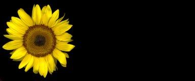 Sonnenblume auf Schwarzem lizenzfreie stockfotografie