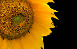Sonnenblume auf Schwarzem Stockfotos