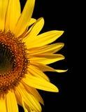 Sonnenblume auf Schwarzem Stockfoto