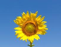 Sonnenblume auf sonnigem Himmelhintergrund Stockfotos