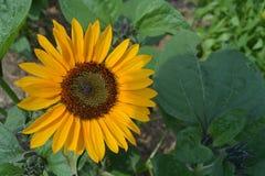 Sonnenblume auf Sunny Day Lizenzfreie Stockfotos