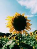 Sonnenblume auf Sunny Day stockbild