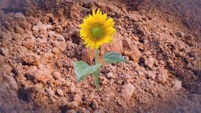 Sonnenblume auf trockenem Boden, abstrakter Hintergrund Lizenzfreie Stockfotos