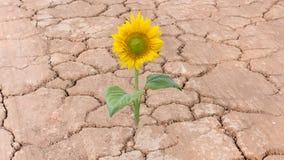 Sonnenblume auf trockener gebrochener Erdgelbblume Lizenzfreies Stockfoto