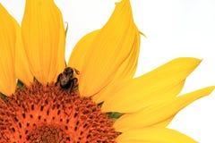 Sonnenblume auf Weiß Stockfotos