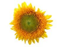 Sonnenblume auf Weiß Lizenzfreies Stockfoto