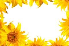 Sonnenblume auf Weiß Stockfoto