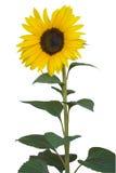 Sonnenblume auf Weiß Stockbilder