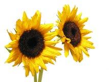 Sonnenblume auf Weiß lizenzfreie stockfotografie