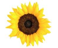 Sonnenblume auf weißem Hintergrund Stockbilder