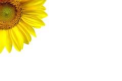Sonnenblume auf weißem Hintergrund Lizenzfreies Stockbild