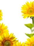 Sonnenblume auf weißem Hintergrund Stockfotos