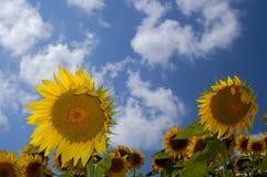 Sonnenblume-Bauernhof III lizenzfreie stockfotos