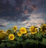 Sonnenblume bei Sonnenuntergang Lizenzfreie Stockbilder