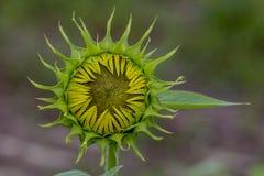 Sonnenblume bereit sich zu öffnen Stockbild