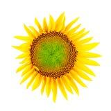 Sonnenblume; Beschneidungspfad Lizenzfreies Stockfoto