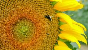 Sonnenblume besucht durch eine Hummel Lizenzfreie Stockfotografie