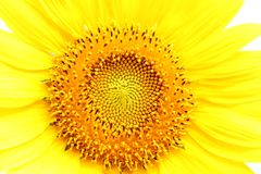 Sonnenblume am Blühen sind im breiten Feldland gelb Lizenzfreie Stockfotos