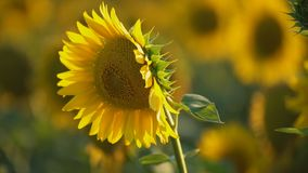 Sonnenblume bl?ht Nahaufnahme stock footage