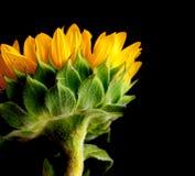 Sonnenblume-Blau stockfotos