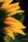 Sonnenblume-Blumenblätter Lizenzfreie Stockfotos