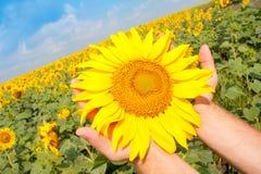 Sonnenblume in den Palmen stockfoto