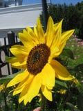 Sonnenblume in der Blüte lizenzfreie stockfotos