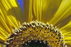 Sonnenblume in der Blüte Stockbild