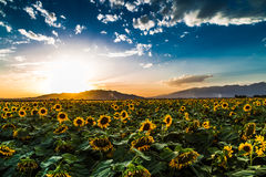 Sonnenblume an der Dämmerung Lizenzfreies Stockbild