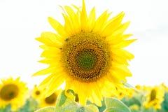 Sonnenblume in der hohen Note Stockbild