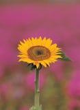 Sonnenblume an der Natur Stockfotos