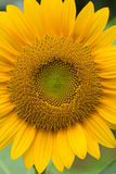 Sonnenblume in der vollen Blüte Stockbilder