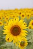 Sonnenblume in der vollen Blüte mit Biene Lizenzfreies Stockfoto