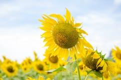 Sonnenblume in der Weichzeichnung Stockfotografie