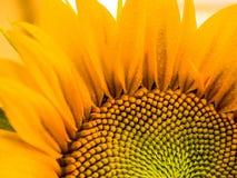 Sonnenblume des Spätsommers Lizenzfreies Stockfoto