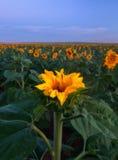 Sonnenblume, die auf dem Gebiet knospt stockbild