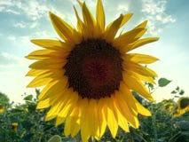 Sonnenblume, die auf dem Gebiet wächst Lizenzfreie Stockfotografie