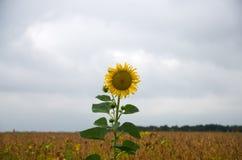 Sonnenblume, die auf einem Gebiet wächst Lizenzfreie Stockfotos